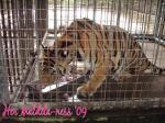 Tiger enjoying lunch